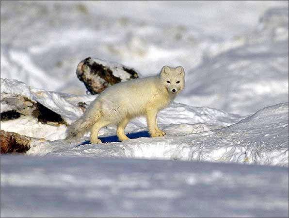http://www.alaska.net/~house/images/Arctic%20Wildlife%20Refuge/BanerjeePhotos/ArcticFoxBarterIsland.jpe